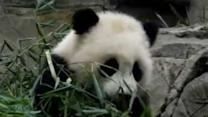 Giant Panda Cub Greets Her Fans at Smithsonian National Zoo