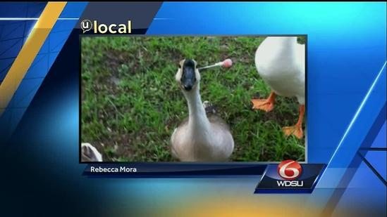 u local viewer brings attention to Mandeville goose with dart stuck in head