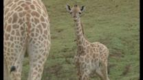 CUTE PICS: Baby giraffe born at San Diego Zoo Safari Park