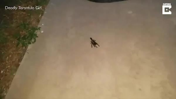 The Moment Wasp Drags Paralysed Tarantula To Den For