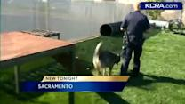 K-9 trials end well for Sacramento police dogs