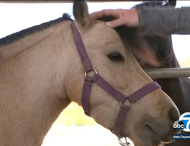 Rumble The Mini Horse Found Safe After Stolen In Riverside County