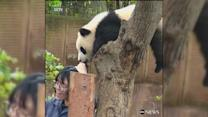 Panda selfie goes wrong in China