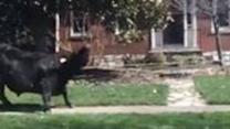 Steer Runs Loose Near University of Kentucky Campus