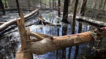 Beaver Attack Claims Fisherman's Life