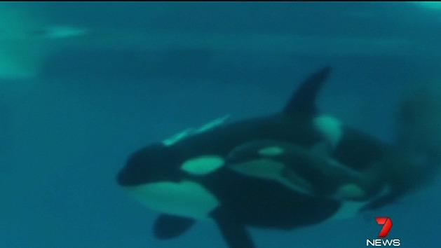 Killer whale gives birth in San Diego
