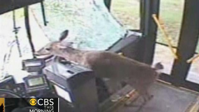 Watch: Deer crashes through windshield of bus