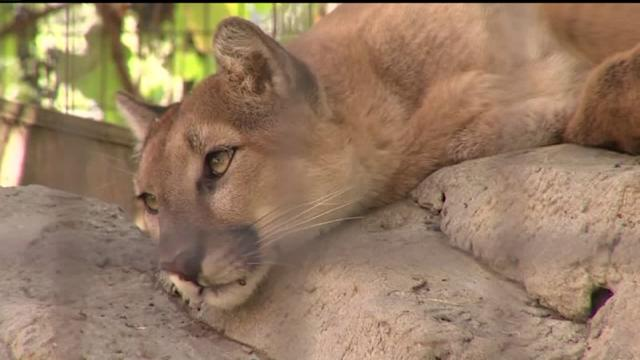 Neighborhood on High Alert After Four Mountain Lion Sightings