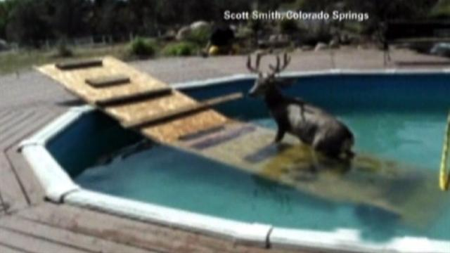 Deer gets stuck in swimming pool