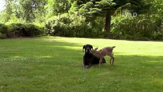Unlikely Animal Bond: Great Dane and Deer