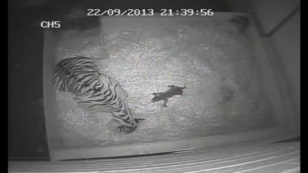 First tiger cub in 17 years born at London Zoo