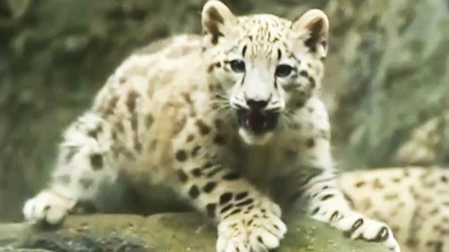 Watch: Snow leopard cub frolics at the Bronx Zoo