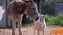 Lonely Goat Refuses to Eat Until Reunited with Burro Friend
