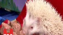 Albino Hedehogs Get Royal Connection!