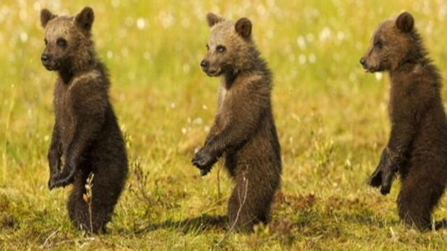 Bear Cubs Stand at Attention, Mimic Mom