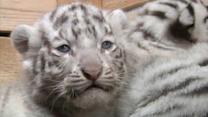 Yes, These White Tiger Cubs Are Pretty Adorable