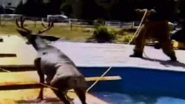 Deer Rescued From Colorado Pool