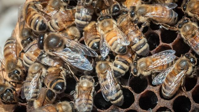 Bees Dying Off Could Be Bad For YOUR Health