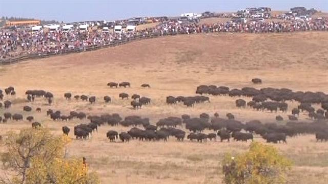 South Dakota's annual buffalo roundup