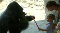 Human-Loving Gorilla Doesn't Play Well With Other Gorillas