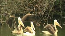 Pelicans Move Into Park