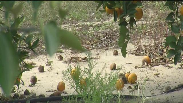 Citrus Drop worrisome to growers
