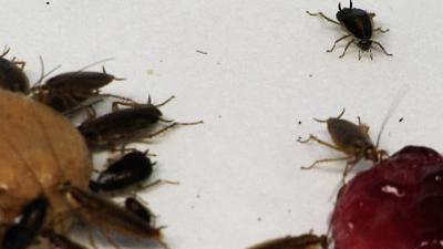 Study: Cockroaches Survive by Losing Sweet Tooth