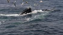 Coast Guard issues boater warnings to avoid whale strikes