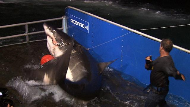 Great white shark GPS tagging yields new insight