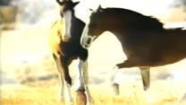 Budweiser Horses Playing Football | Budweiser