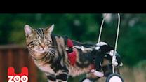 Disabled Cat Get A New Pair Of Wheels
