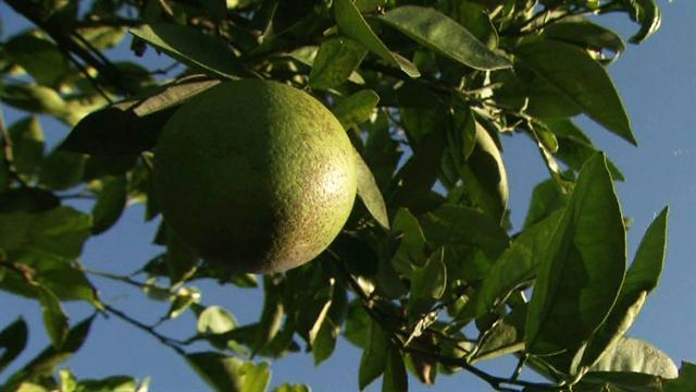 Citrus disease attacks Florida's oranges