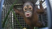 Cute Baby And Mother Orangutan Rescued From Plantation
