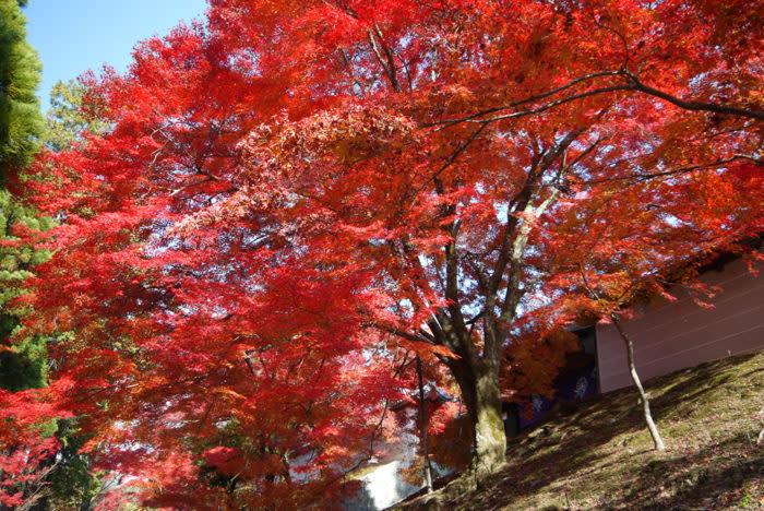 京都賞楓一日散策散步路線曼殊院外圍秋景