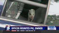 Pig Tracks Down Police Officer to Find Home