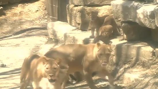 Lion cubs experience outdoors for the first time