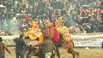 Raw: Thousands Gather to Watch Camels Fight