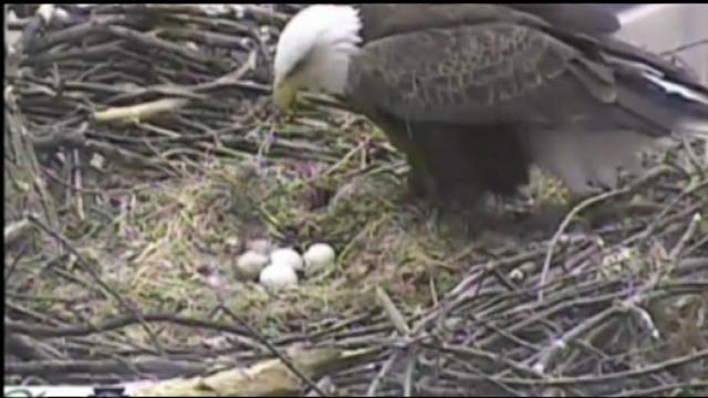 Eagle-Eye View: Infrared Surveillance on Bald Eagle and Her Three Eggs