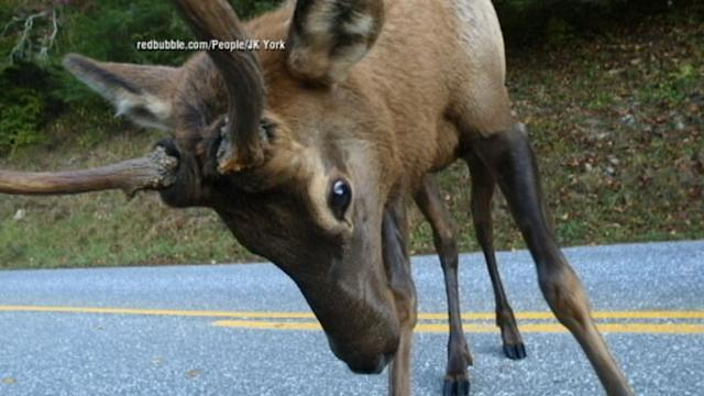 Elk Spars with Photographer: Caught on Tape
