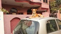 Stray Dog Chills on Roof of Car