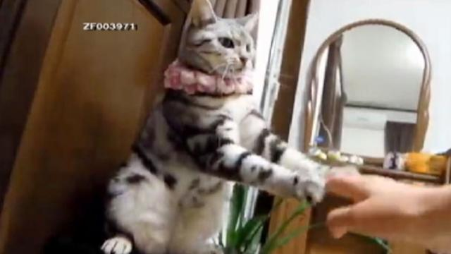 Talented Cat 'Dances' with Owner