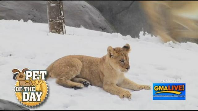 Cute Lion Cubs Play in the Snow