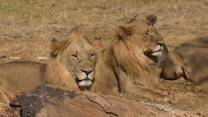 Death of U.S. woman in lion park raises new safety questions