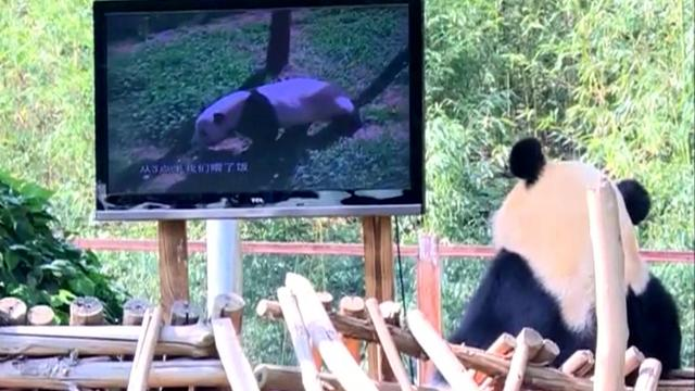 Lonely panda watches TV