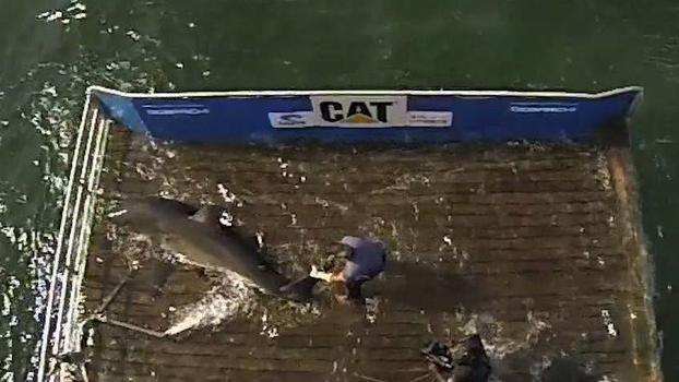 Great white grab: OCEARCH tags first shark of the summer