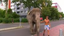 An elephant strolls through the German capital