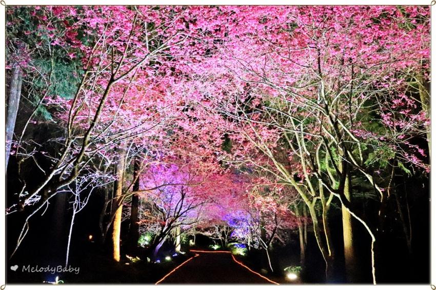 九族櫻花祭 (24).JPG