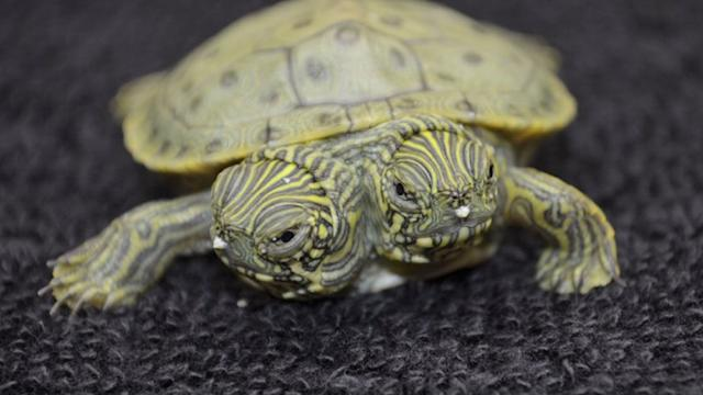 Two-headed turtle hatches at Texas Zoo