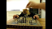 Cat Pretends to Play Chess