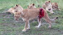 Graphic Footage of Lioness Mauled by Buffalo
